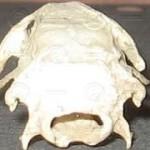 Lebka zezadu
