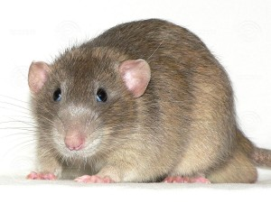russian_chocolate_agouti_acolor-adult2