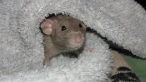 """Po měsíci – mazánek v """"mámině"""" župánku, je z něj úplně nový myšák."""