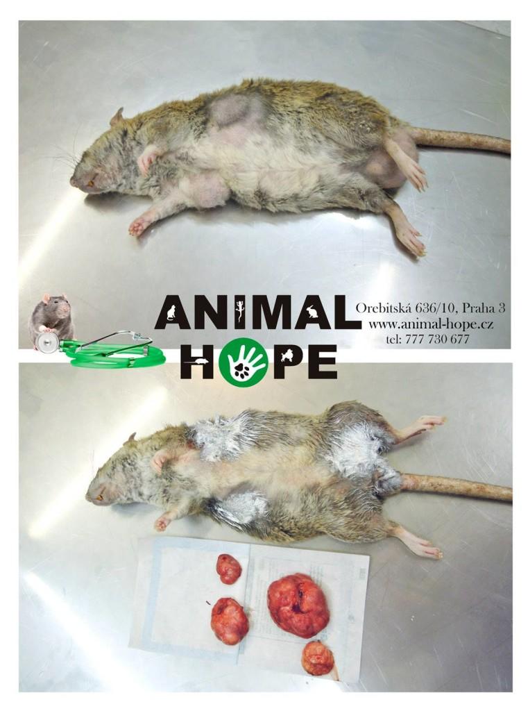 Proč preventivní kastrace - na fotografii potkanice před zákrokem a po chirurgickém odstranění 4 nádorů mléčné žlázy
