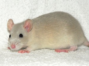 russian_lavender_agouti_young