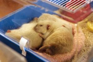 Vystavení myšáci