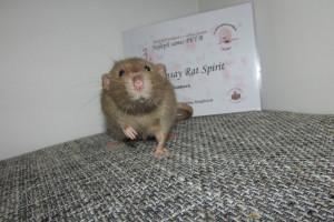 Ramsay Rat Spirit, Dagmar Šebková
